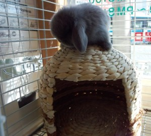 現在販売中のホーランドロップのライラックの赤ちゃんです。