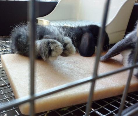 コレだからウサギはたまらんです(癒し)