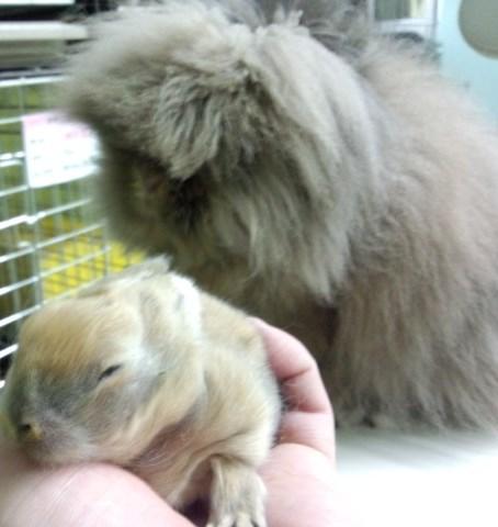 ライオンヘッドの赤ちゃんは、ビックリするくらい今の時期は尖がるんです。これから変わるからみていてくださいね。