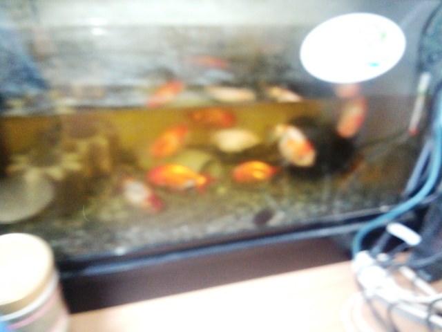 引越し以来、水換えしてない金魚達です。コケ生えてる方がいいのは、知ってるけど、もうちょいキレイにしてあげて欲しいな~です。