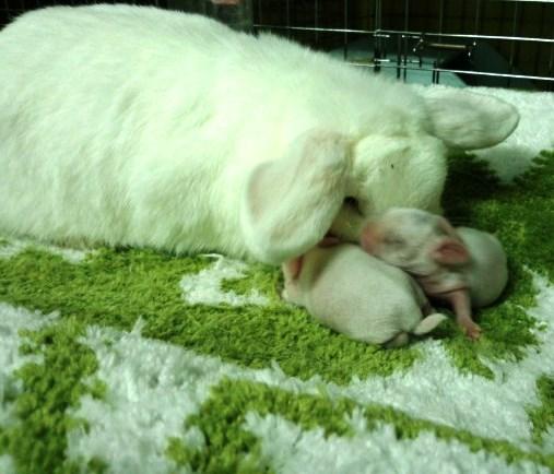 ミルキーの娘2羽残していたんですが、2羽とも受胎しない仔だっただけに、今回の赤ちゃんメスだったら残す予定です。