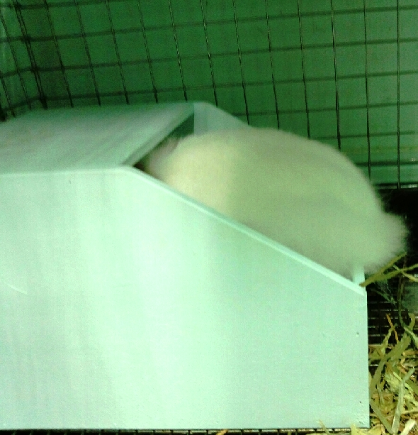 せっせチモシーを巣箱に運んでいます。ミミックはちっこいから数は期待出来ないけど無事産んでくれればです。